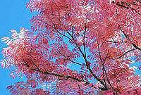 Toona sinensis Цедрела китайская, фото 1