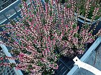Вереск Обыкновенный 'Linda' цвет Фиолетовый | Calluna vulgaris Linda (ЗКС; контейнер 0,7 л)