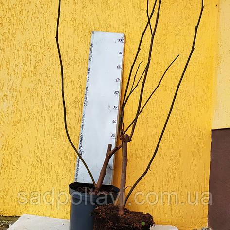 """Магнолия Медовый тюлип /Magnolia 'Honey Tulip""""/ в конт.10л-h1.5-2м, фото 2"""