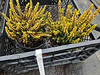 Вереск Обыкновенный 'Skyline Barcelona' Не Цветет | Calluna vulgaris Skyline Barcelona (ЗКС; контейнер 0,7 л)