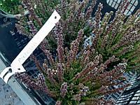 Вереск Обыкновенный 'Skyline Pretoria' Не Цветет | Calluna vulgaris Skyline Pretoria (ЗКС; контейнер 0,7 л)