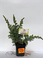 Можжевельник прибережный 'Шлягер' | Ялівець 'Шлягер' | Juniperus conferta 'Schlager' (ЗКС; 2 л), фото 1