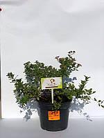 Спирея японская 'Литл Принцесс' | Spiraea japonica Little Princess (ЗКС; контейнер 2 л)