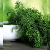 Семена Укропа LibraSeeds (Erste Zaden) МЕГА ТЕТРА (ДЕНДИ) 50 тыс.шт