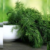 Семена Укропа LibraSeeds (Erste Zaden) МЕГА ТЕТРА (ДЕНДИ) 500 тыс.шт