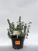 Бересклет Форчуна 'Сильвер Квин'   Euonymus fortunei 'Silver Queen' (ЗКС; горшок 2л), фото 1