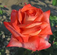 Роза Фольклер. (в). Чайно-гибридная.  , фото 1
