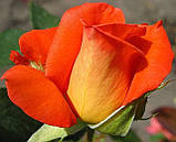 Троянда Фольклор. (вв). Чайно-гібридна, фото 2