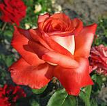 Троянда Фольклор. (вв). Чайно-гібридна, фото 3