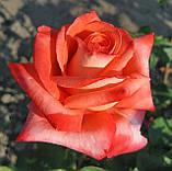 Троянда Фольклор. (вв). Чайно-гібридна, фото 5