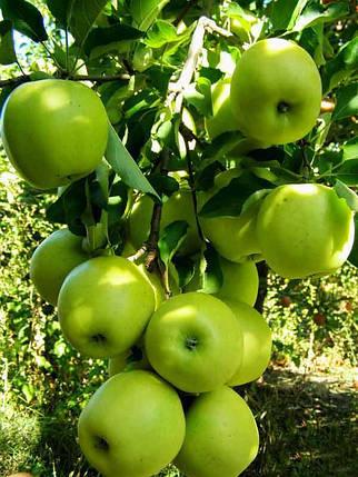 Яблоня Мутсу, фото 2