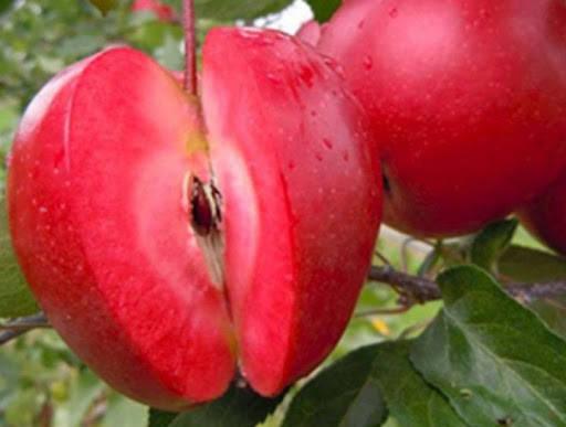 Яблоня Эра, фото 2