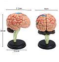 Модель человеческого мозга 32 части, фото 5