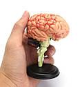 Модель человеческого мозга 32 части, фото 7