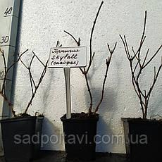 Саженцы гортензии метельчатой Скайфолл (Hydrangea pan. Skyfall) 2года, фото 2