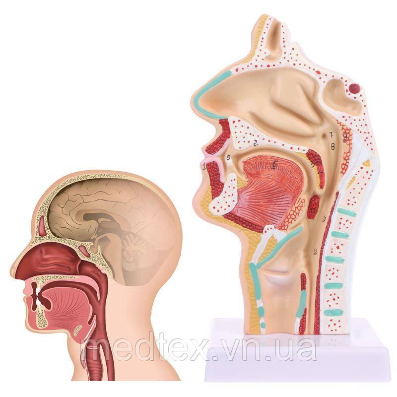 Анатомическая модель - носовая полость человека, анатомия горла
