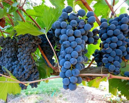 Виноград Руслан, фото 2