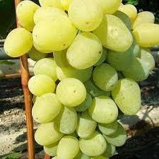 Виноград новый подарок запорожью, фото 2