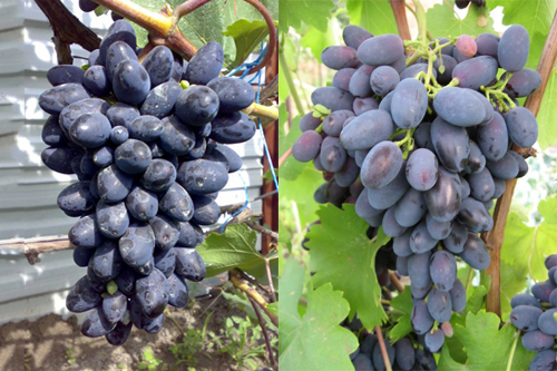 Виноград Кодрянка, фото 2