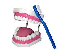 """Модель """"Гигиена зубов"""" Верхняя и нижняя челюсти человека"""