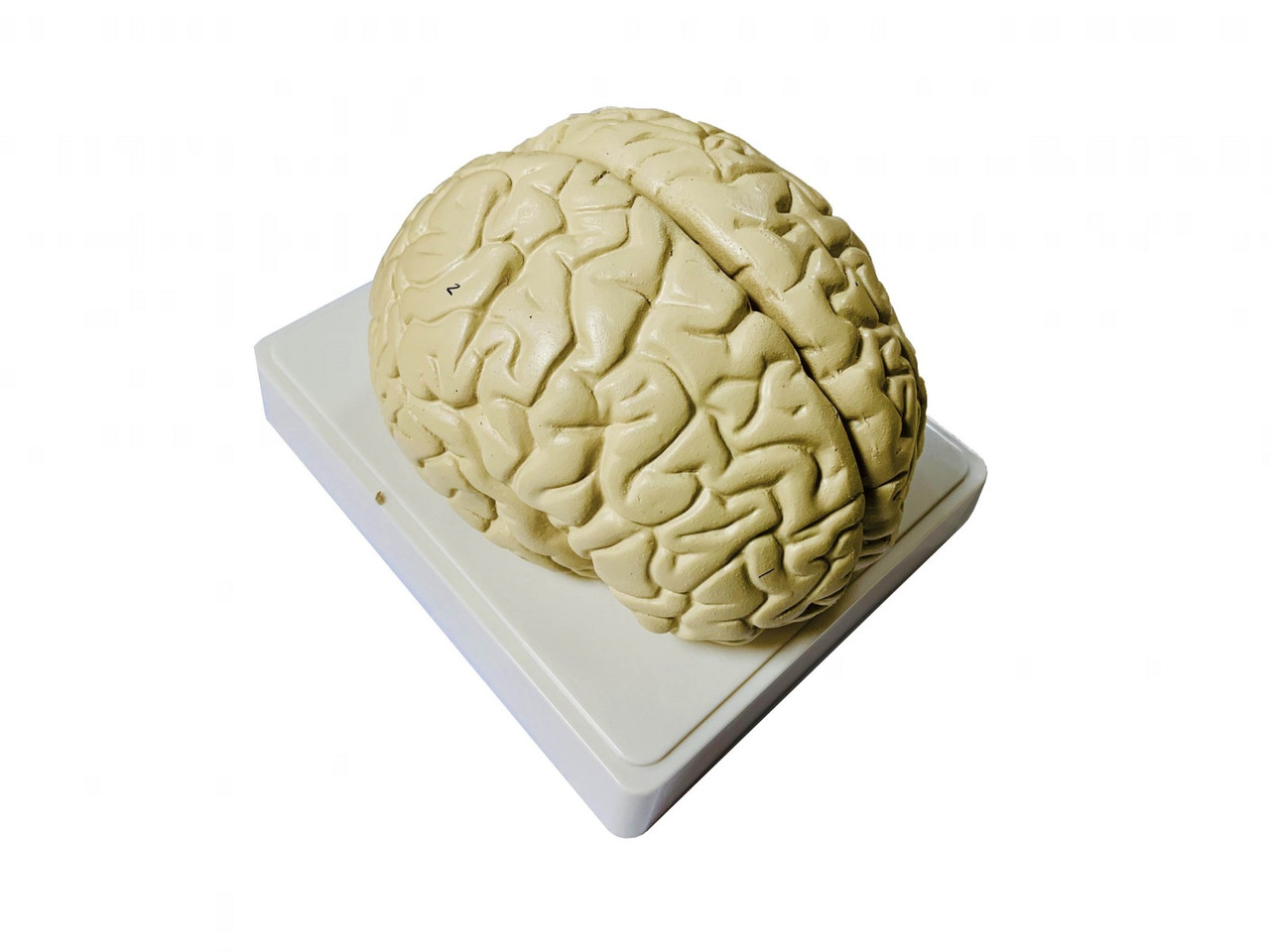 """Модель """"Головной мозг человека"""""""