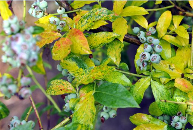 Червона плямистість листочків лохини