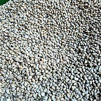 Семена конопли 10кг