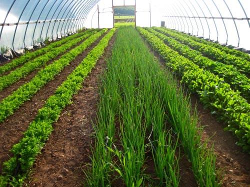 Выращивание лука в  теплицах как бизнес