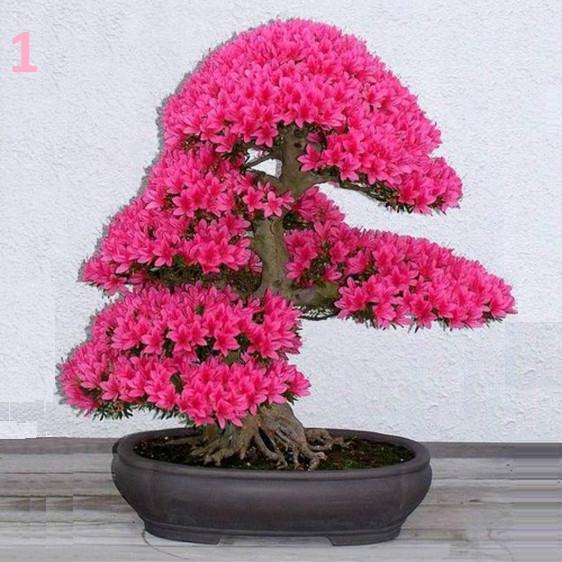 10 семян Сакуры бонсай  / семена Сакура бонсай 10 // Насіння сакури 10 шт