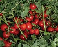 Томат 7204 F1 - Heinz Seed (Хайнц Сид), уп. 500 семян (детерминантный)