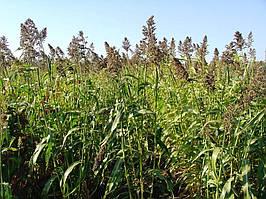 Трава кормовая Суданка , 1 кг