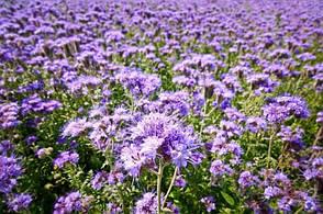 Трава кормовая Фацелия медонос,кг