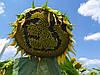 Подсолнечник под гербицид Гранстар Про Экспресс ЕС АЛЬФА. Засухоустойчивый гибрид Сумо ЕС Альфа. Урожайность выше 30 центнер.