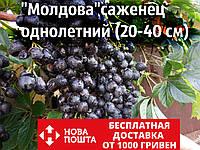 """Виноград """"Молдова"""" саженцы технический винный сорт для производства домашнего вина (саджанці)(на осень 2020)"""