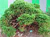 Криптомерія японська 2 річна, Криптомерия японская, Cryptomeria japonica, фото 3