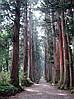 Криптомерія японська 2 річна, Криптомерия японская, Cryptomeria japonica, фото 4