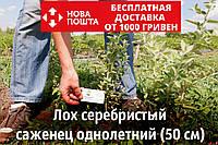 Лох серебристый саженцы (дикая маслина) саджанці Elaeagnus commutata, фото 1