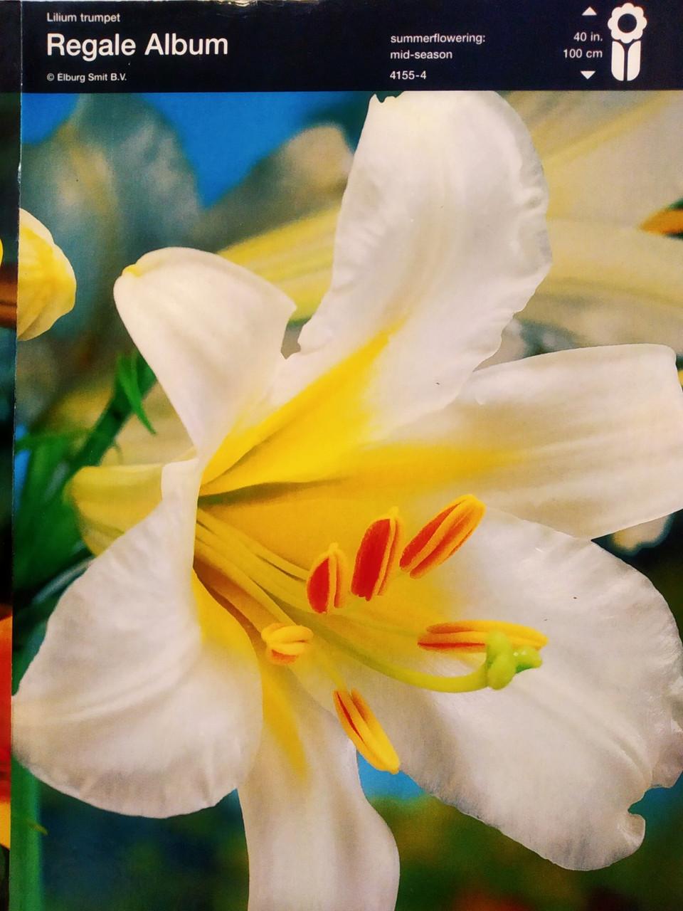 """Лилия трубчатая  белая Lilium trumpet Regale Album, 1 шт оригинал маточник, """"Junior"""", Голландия"""