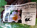 """Лилия трубчатая  белая Lilium trumpet Regale Album, 1 шт оригинал маточник, """"Junior"""", Голландия, фото 2"""