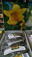 Лилия луковица трубчатая желтая Lilium Aurelian Golden Splendour 1 шт, Junior, Голландия