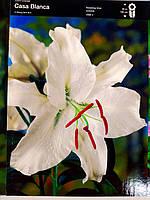 """Лилия ориентальная белая луковица  Lilium orientalna Casa Blanca """"Junior"""", Голландия 1 шт"""