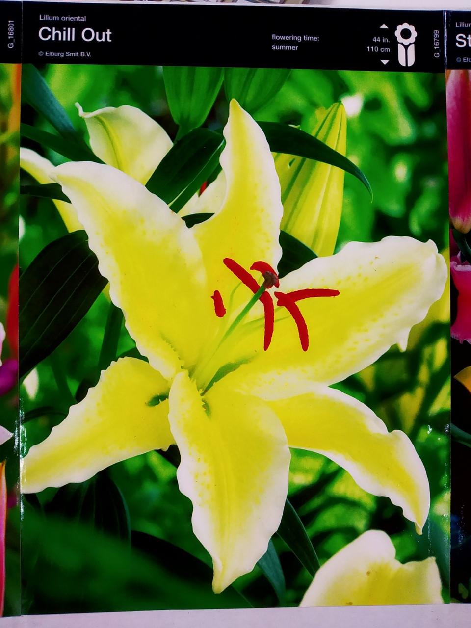 Лилия ориентальная ярко желтая  Chill Out , 1 шт луковица, Junior, Голландия