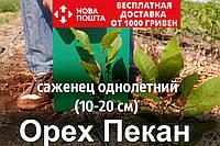 Пекан орех саженец (однолетний) кария саджанці горіх карія однорічний (вкуснее грецкого) Carya illinoinensis