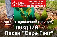 """Пекан орех саженец сорт """"Cape Fear"""" ( поздний) кария саджанці Carya illinoinensis(однолетний)"""
