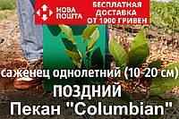 Пекан орех саженец сорт Columbian (поздний) кария саджанці горіх карія Carya illinoinensis (однолетний)