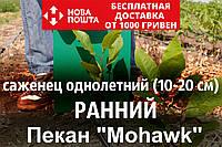 """Пекан орех саженец сорт """"Mohawk"""" (ранний) кария саджанці Carya illinoinensis (однолетний)"""