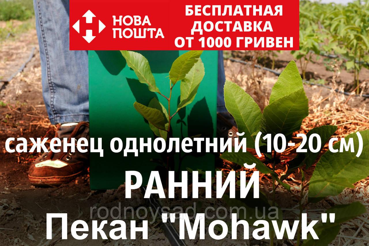"""Пекан орех саженец сорт """"Mohawk"""" (ранний) кария саджанці Carya illinoinensis (однолетний) - фото 1"""