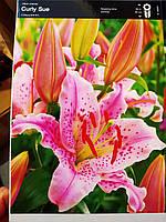 Лилия ориентальная нежно-розовая с вкраплениями Curly Sue 1 шт луковица Junior, Голландия