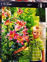 Лилия луковица ОТ гибрид нежно-розовая ON Stage 1,80 см 1 шт Junior, Голландия