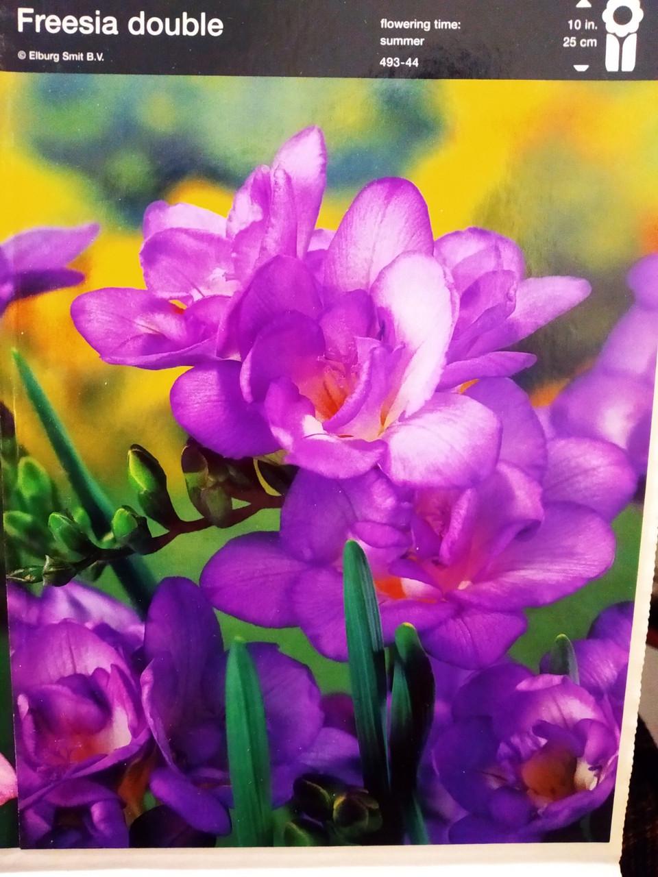 Луковицы фрезии махровой фиолетовые 5 шт, Freesia double, Junior Голландия